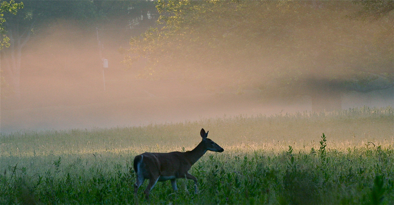 Deer at sunrise,Verde